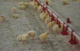 بست آبخوری مرغداری